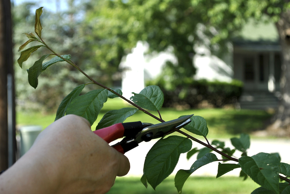 Corona Tools for Summer Pruning Fruit Trees