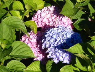 Hydrangea on Corona Tools Plantchat