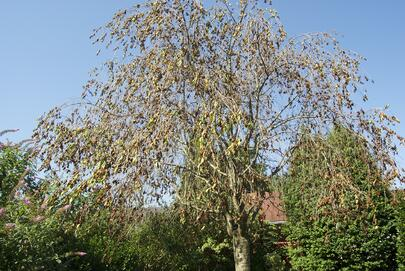 cherry tree crown Phytophthora