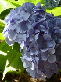 Corona Tools Hydrangea on Plantchat