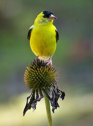Bird on Coneflower