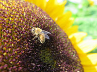 RodaleInstitute-honeybees-4-13-2015